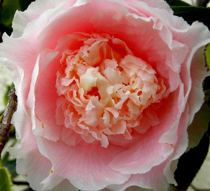 yard-flowers-059-pink-camellia
