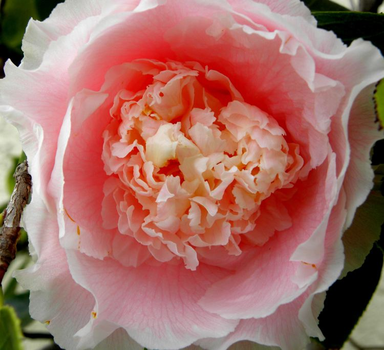 yard-flowers-059-pink-camellia